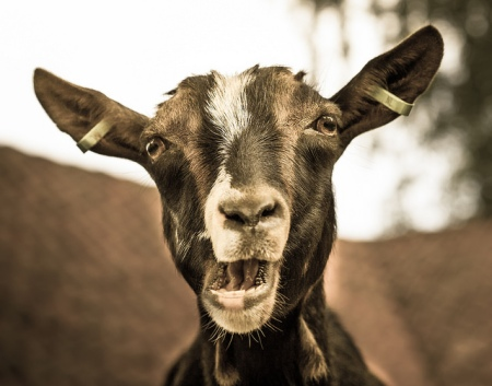 Larry the Goat by g3Tography