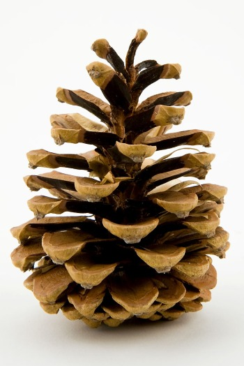 Pine Cone by James Marvin Phelps