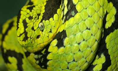 Yellow-Blotched Palm-Pitviper by Tad 20D